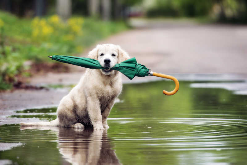 坐在水坑里拿着雨伞的金毛猎犬