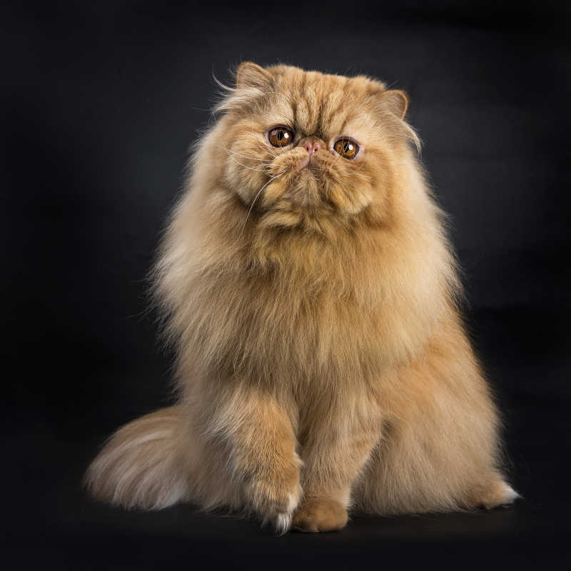 黑色背景下的波斯猫
