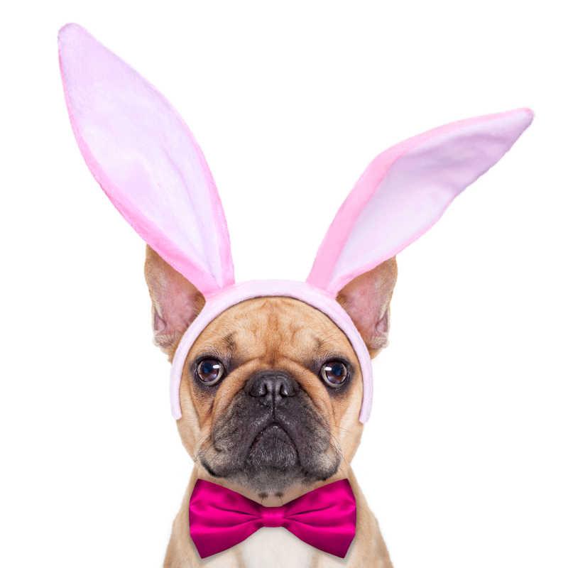 戴着粉色发箍和领带的斗牛犬