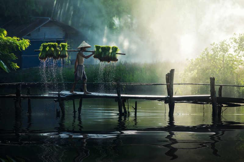 小桥上的亚洲农民在挑着水稻秧苗去种植