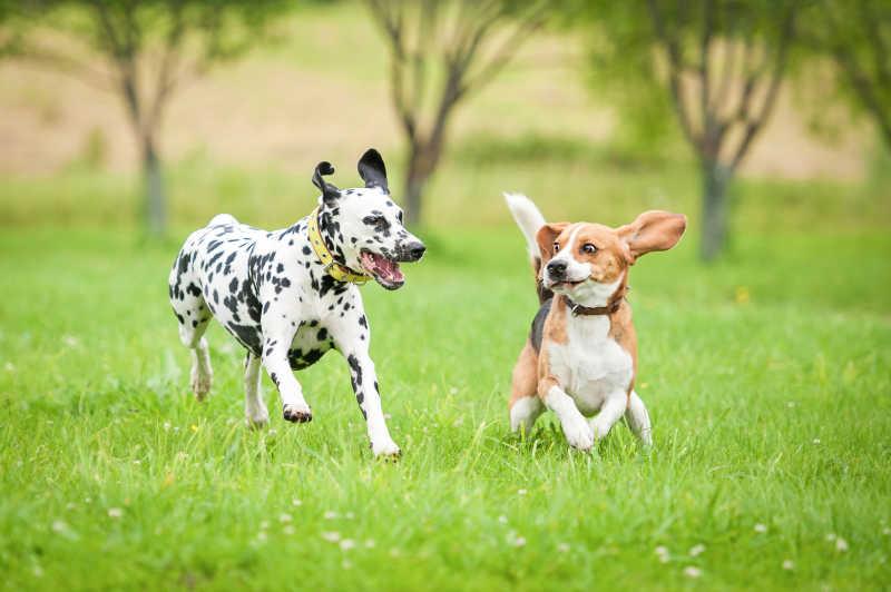 两只在草地上奔跑的狗狗