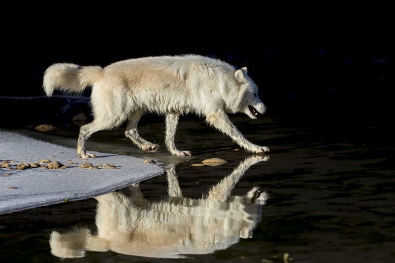 黑夜里的北极狼