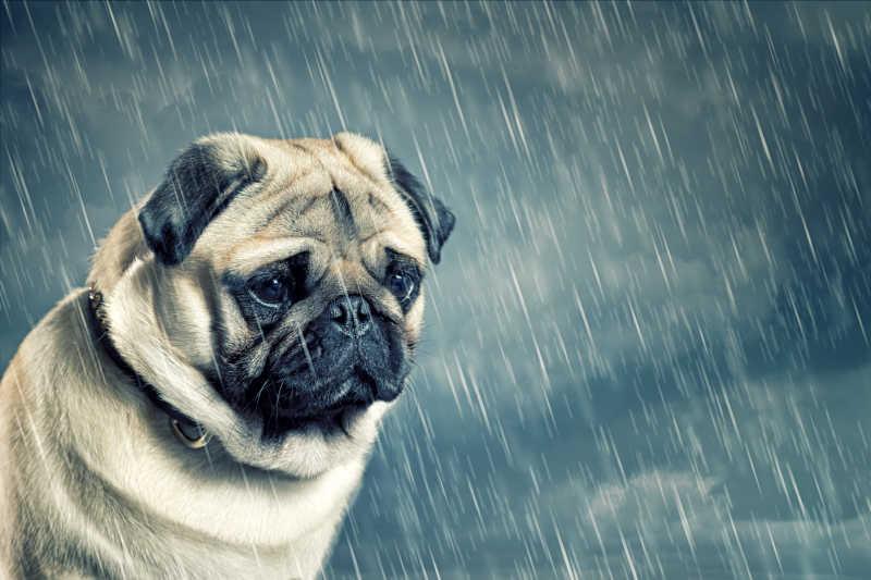 雨中的哈巴狗