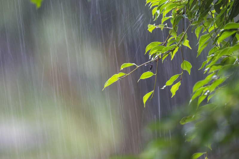 大雨下的绿叶