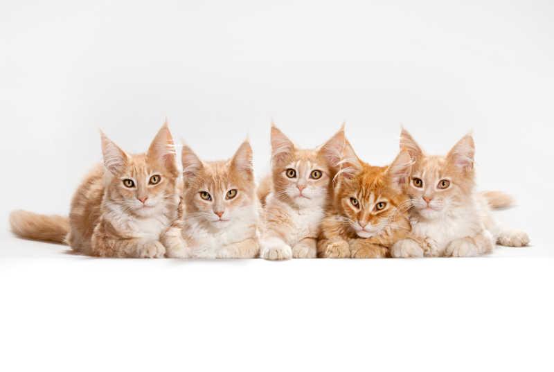 白色背景下趴着一群可爱的猫咪