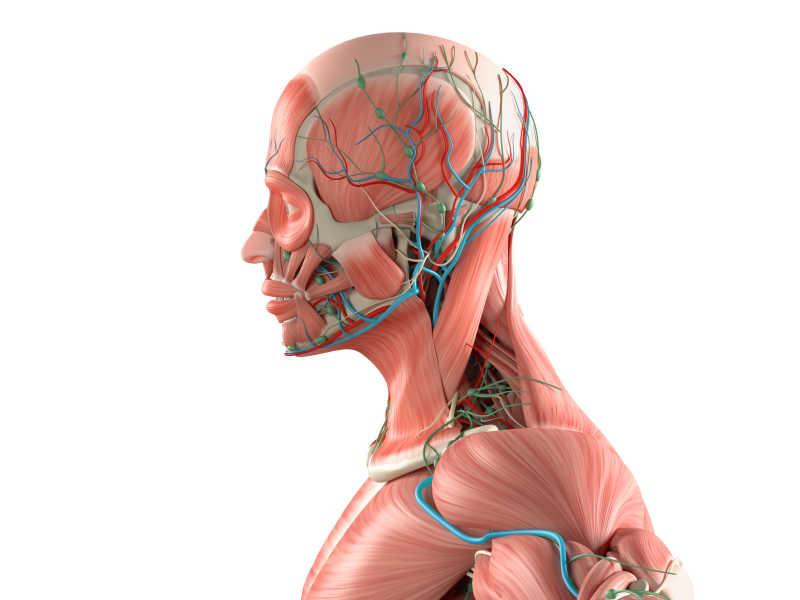 背部肌肉分布_人体解剖模型图片-人体解剖3d模型素材-高清图片-摄影照片-寻图