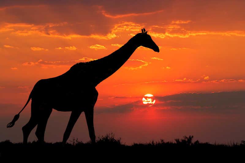夕阳下的长颈鹿剪影