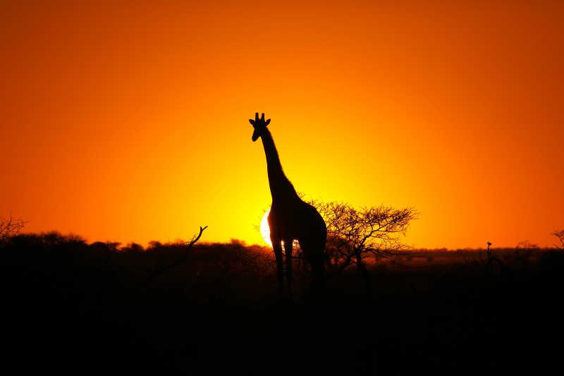 夕阳下长颈鹿的身影