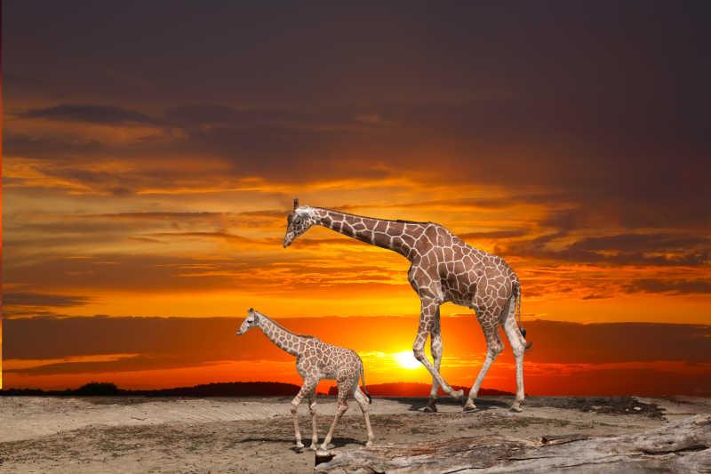 非洲草原上的长颈鹿家庭