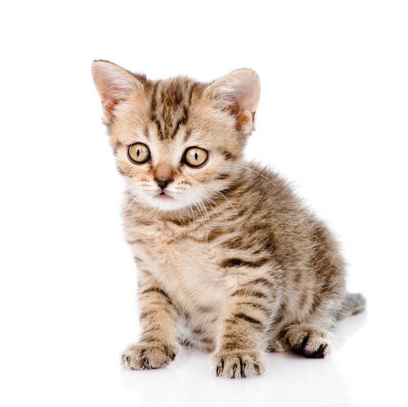 可爱的小虎斑猫