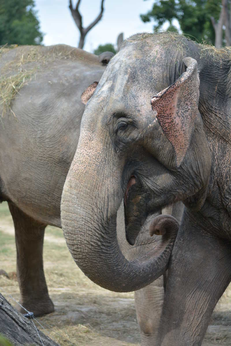 卷起鼻子的大象