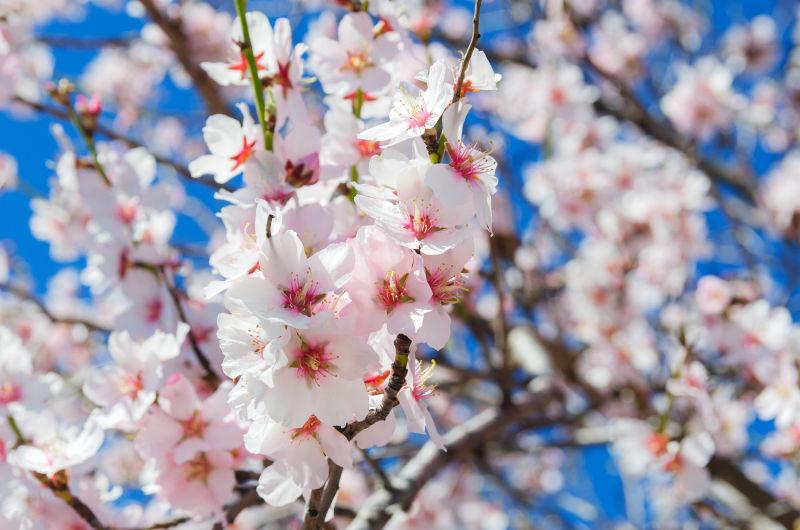二月盛开的杏仁花