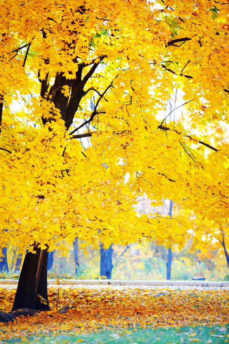 秋季泛黄的落叶树木