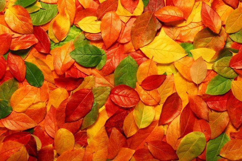 堆积在一起的多彩枫叶