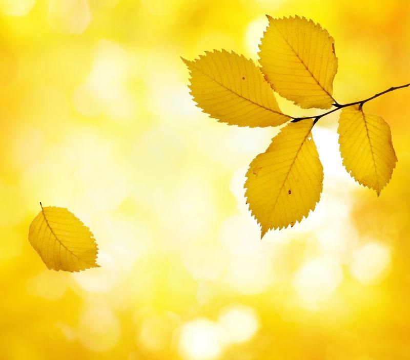 黄色秋叶背景