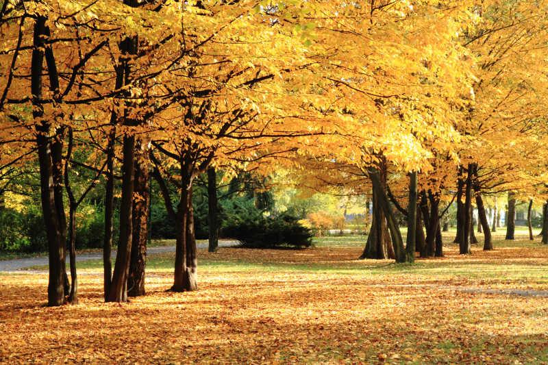 秋天黄色的树林和地上的落叶