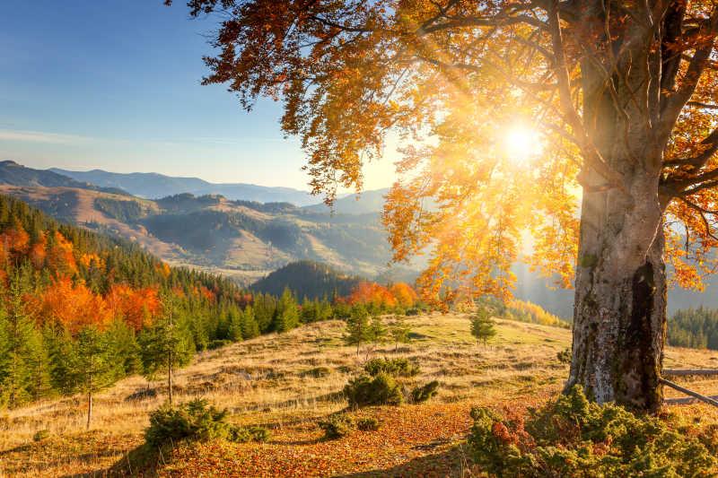 蓝天下有阳光的全删背景下清晨黄色的老树旁有秋天的风景