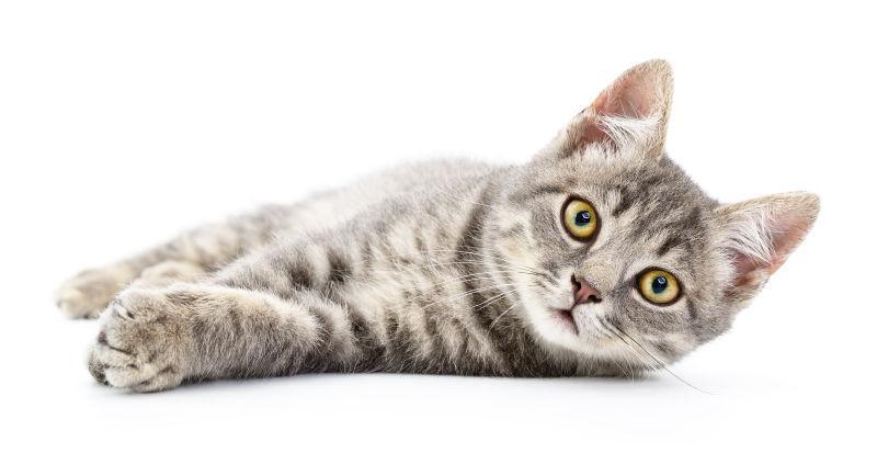 白色背景下的灰色可爱猫咪