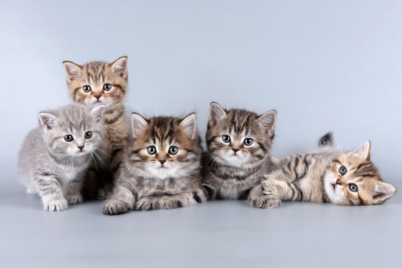 灰色背景下的五只可爱的小猫