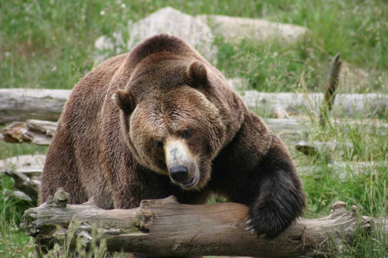 一只大棕熊抱着树干