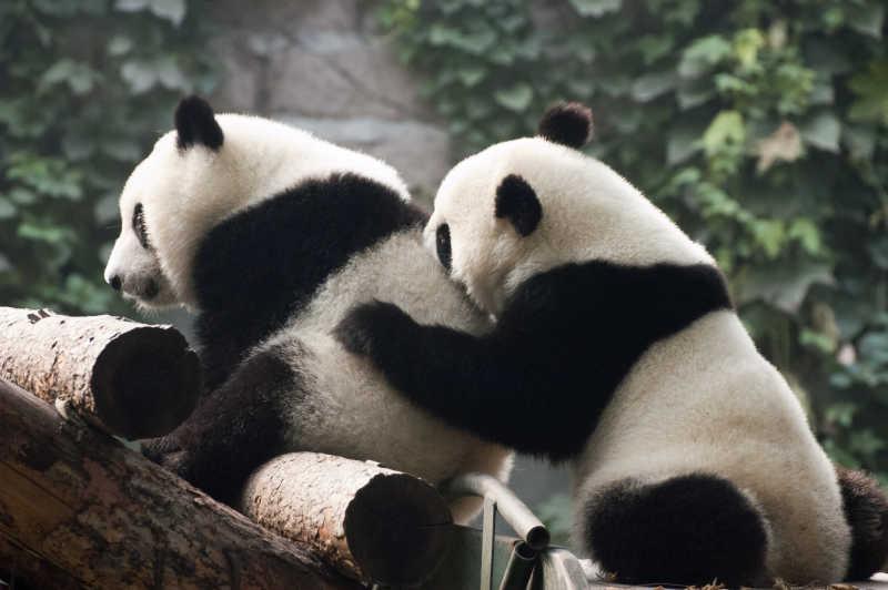 两只大熊猫在玩耍