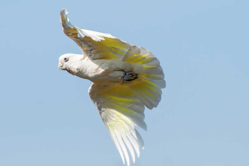 在天空中飞翔的白色羽毛鹦鹉