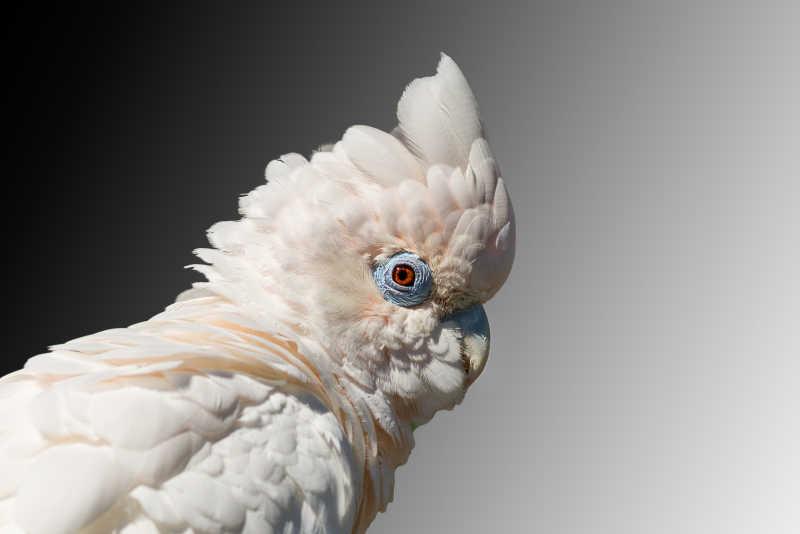 白色羽毛的鹦鹉