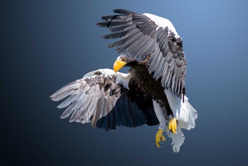 天空中飞翔的老鹰