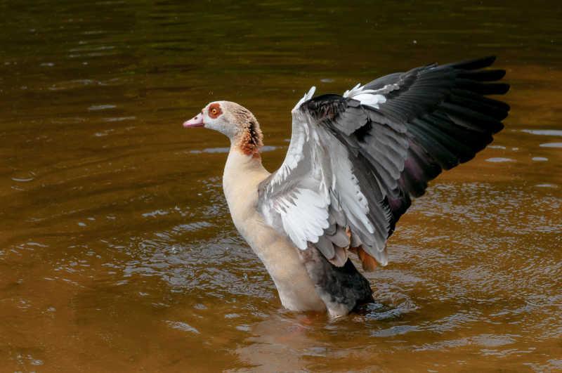 在池塘里展翅的鹅