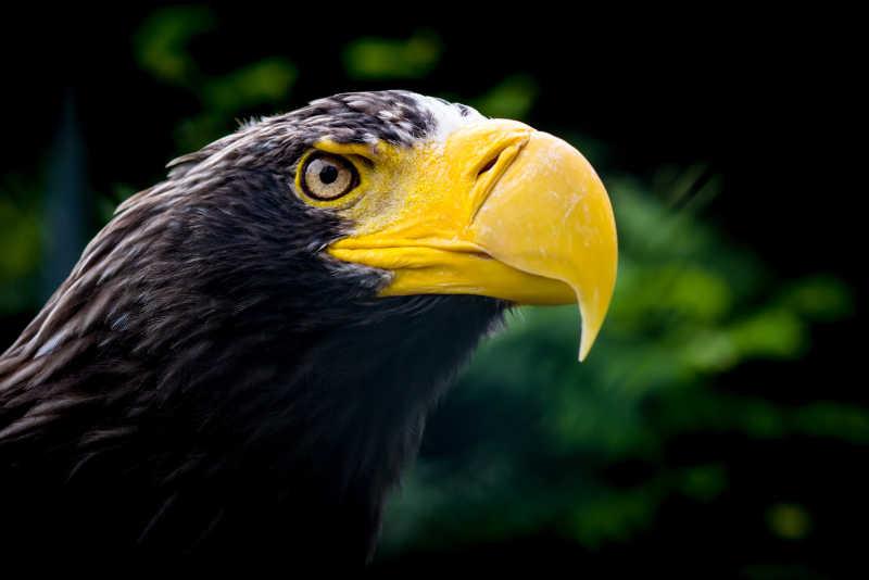 黄嘴黑羽毛的老鹰