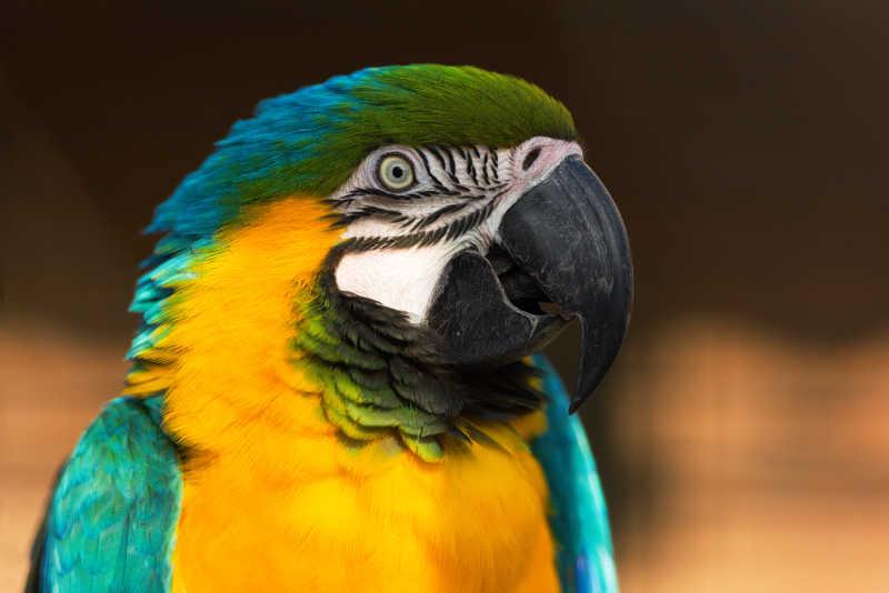 黄绿青相间的彩色鹦鹉