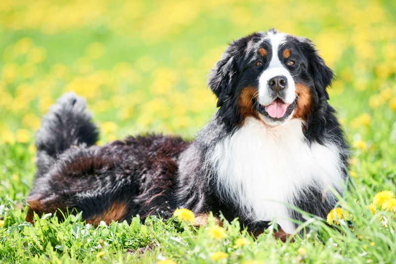 草地上趴着的伯恩山犬