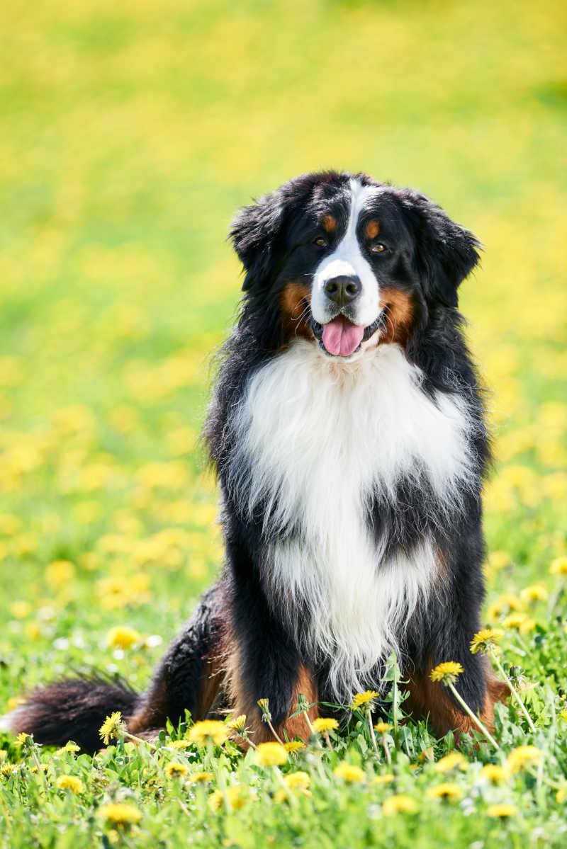 草地上的大型伯恩山犬