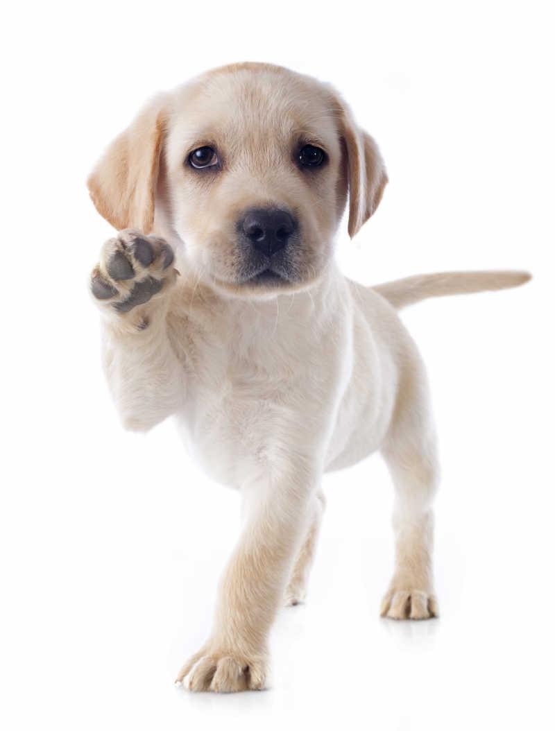 白色背景下未成年的拉布拉多猎犬
