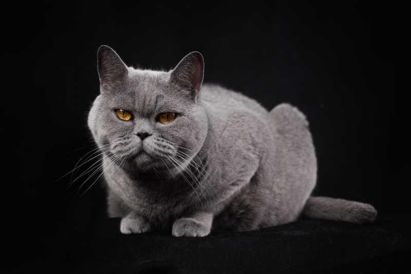 黑色背景下的英国灰色短毛猫