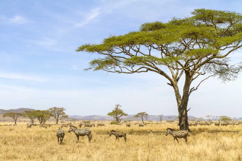 在非洲草原上吃草的斑马