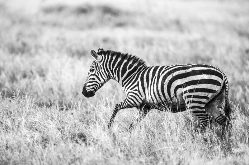 黑白色调下草地上的斑马