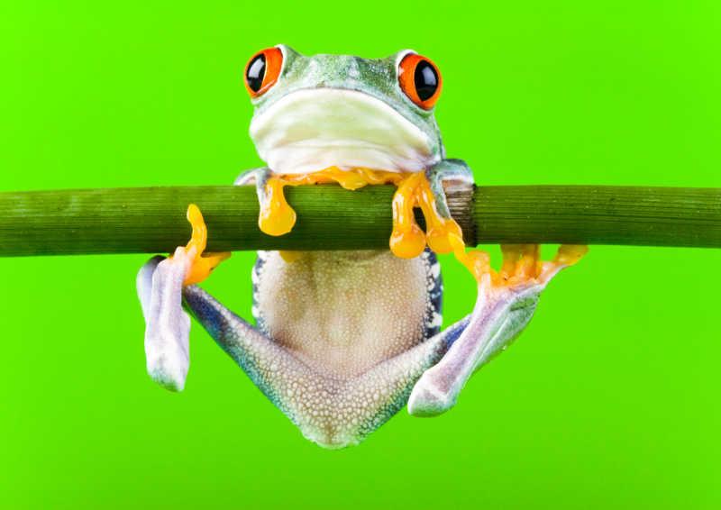 树枝上的两栖动物青蛙