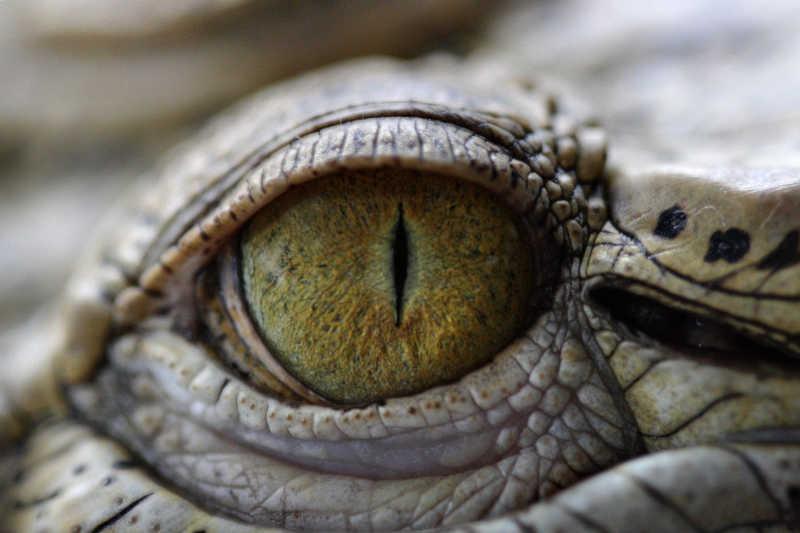 鳄鳄鱼眼睛特写