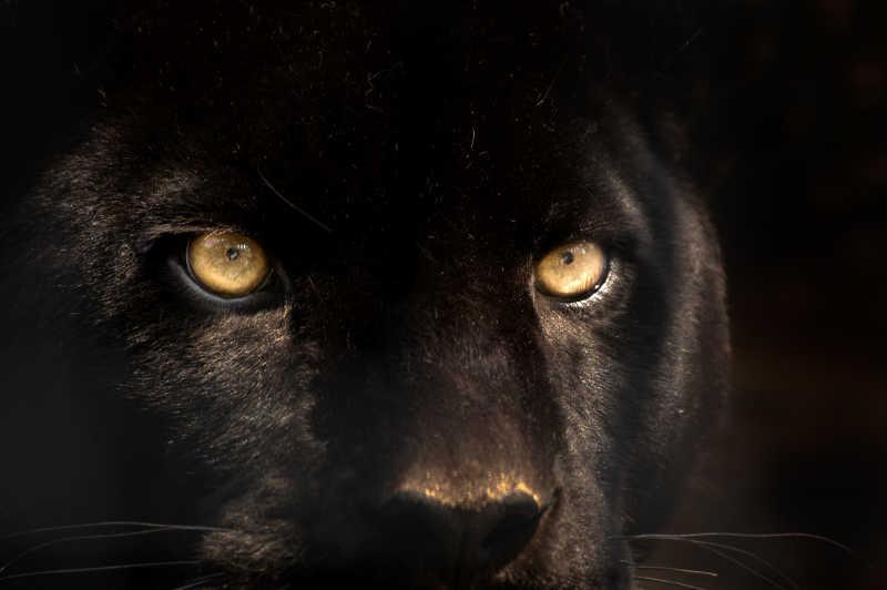 黑色背景下黑豹特写