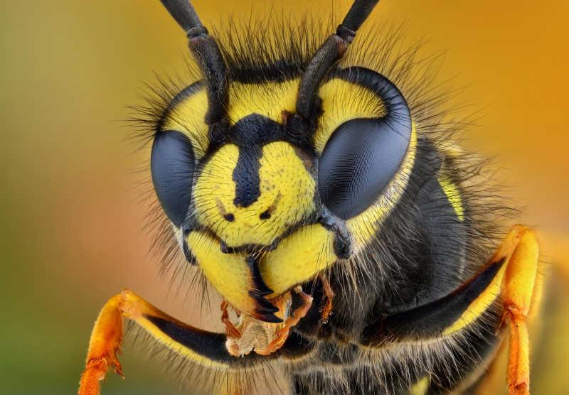 黄蜂头部特写