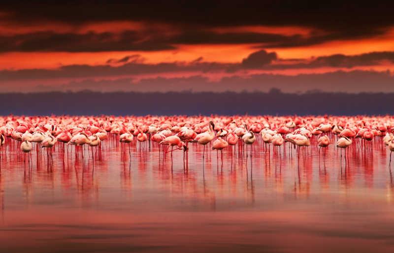 肯尼亚自然美丽的夕阳下的非洲火烈鸟