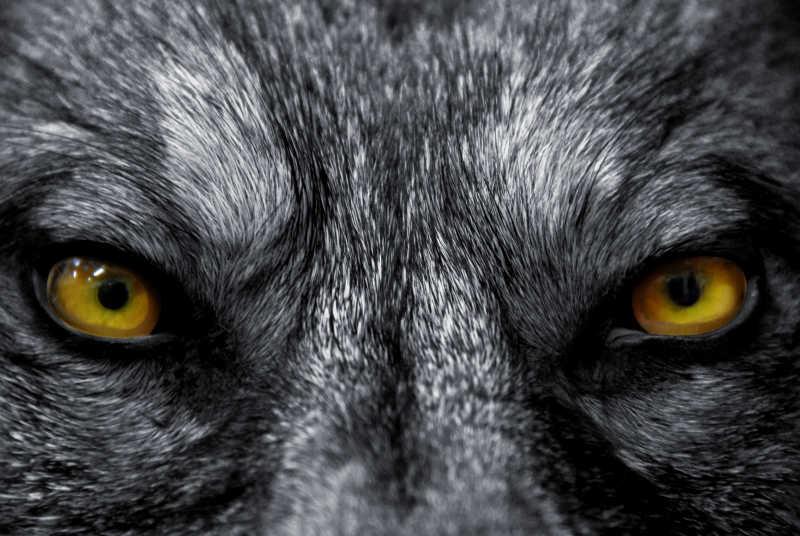 野生狼的眼睛特写