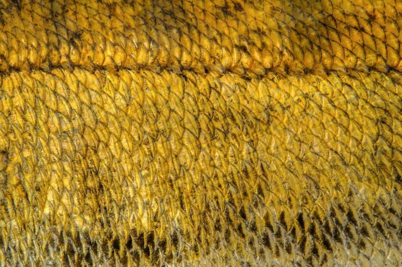 黄色的鱼鳞纹理特写