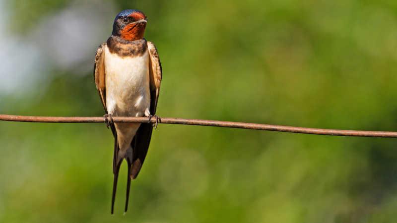 在树枝上的燕子