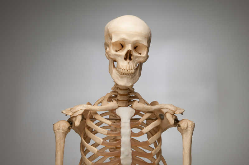 人类的骨架胸部肋骨