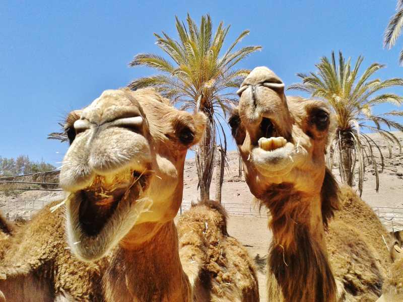 两只张着嘴的骆驼特写