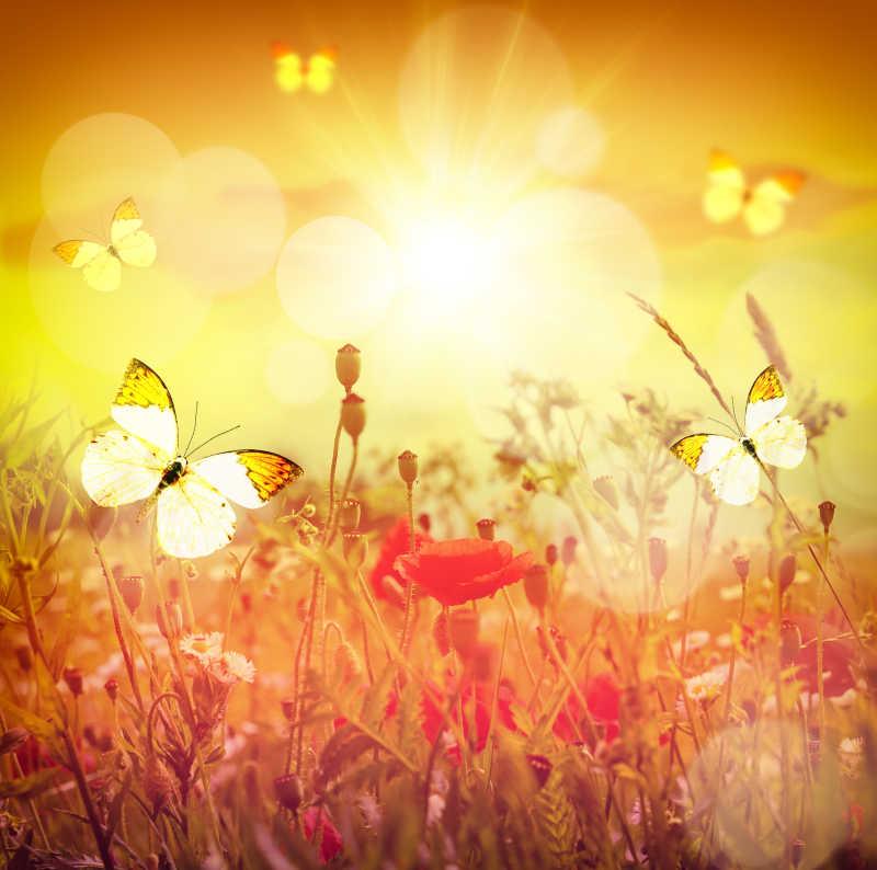 夕阳下蝴蝶飞舞在草甸中