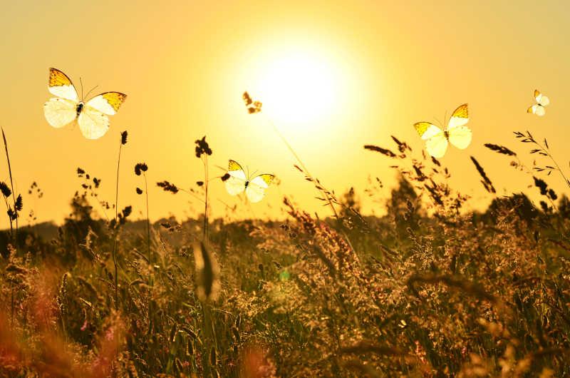夏季阳光下的蝴蝶和草甸