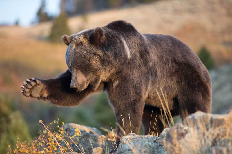 北美洲棕熊在户外狩猎